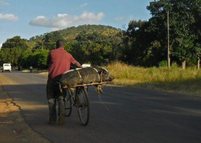 In Afrika werden u.a. auch Tiere wie dieses Schwein auf dem Fahrrad transportiert, Aufnahme: © Hilde Chistè